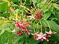 Combretum Indicum Flowers- 2.jpg
