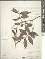 Combretum nigricans-NMNH-14401881.jpg
