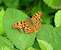 Comma butterfly (17129581697).jpg