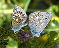 Common Blues mating. Polyommatus icarus - Flickr - gailhampshire.jpg
