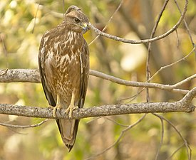 Common Buzzard at Sasan Gir.jpg