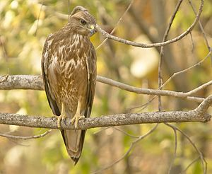 Common buzzard - Front view