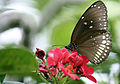 Common Crow - Euploea core.JPG