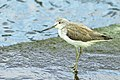 Common Greenshank - Taiwan S4E7269 (15842553232).jpg