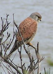 The common kestrel, like other raptorial birds, has a very low threshold to detection of UV light.