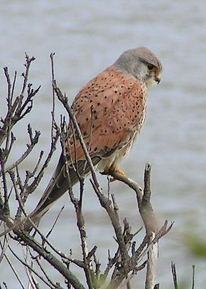 Description de l'image  Fichier:Common Kestrel 1.jpg .