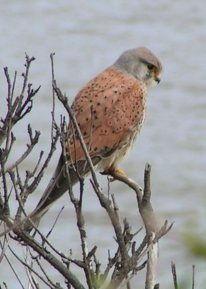 A male Common Kestrel in England.
