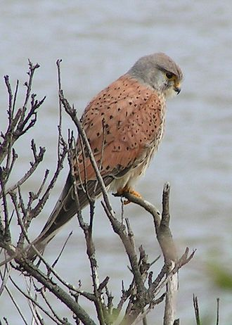 Bird vision - The common kestrel, like other raptorial birds, have a very low sensitivity to UV light.