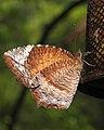 Common Palmfly Elymnias hypermnestra by Dr. Raju Kasambe DSCN1661 (3).jpg