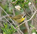 Common Yellowthroat- San Joaquin Wildlife Sanctuary (4415878536).jpg