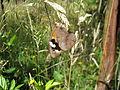 Common brown butterfly female (5360098664).jpg