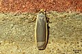 Common footman (BG) (37365322836).jpg