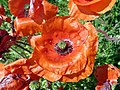 Common poppy (Papaver rhoeas) (36442047880).jpg