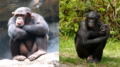 Composite image of male chimpanzee (left) and male bonobo (right) (CC BY version).png