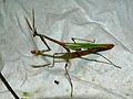 Conehead Mantis (Empusa pennata) male (8337412261).jpg