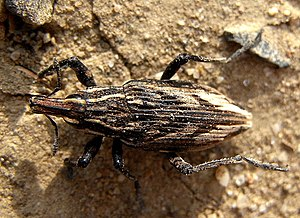 Coniocleonus nigrosuturatus (grooved steppe weevil)