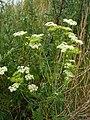 Conium maculatum plant (08).jpg