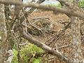 ConolophusPallidus-Trees.JPG