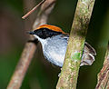 Conopophaga melanops -Vale do Ribeira, Juquia, Sao Paulo, Brasil-8.jpg
