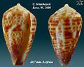Conus brianhayesi 1.jpg