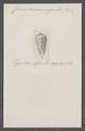 Conus circumsignatus - - Print - Iconographia Zoologica - Special Collections University of Amsterdam - UBAINV0274 087 01 0012.tif