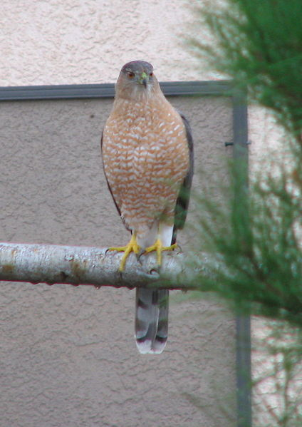 File:Coopers hawk adult 02.JPG