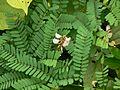 Coral bead vine (1462058123).jpg