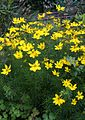 Coreopsis sp. by Danny S. - 001.JPG