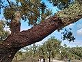 Cork Oak (10266125895).jpg