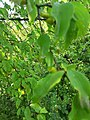 Cornus mas, familija Cornaceae 05.jpg