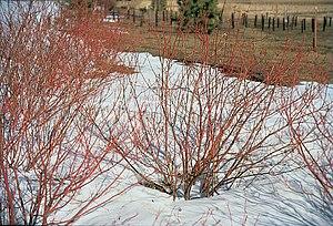 Cornus sericea - Image: Cornus sericea winter