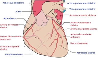 Conformazione esterna del cuore wikiversit for Vasi coronarici