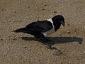 Corvus albus158.jpg