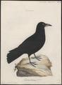 Corvus corax - 1786-1789 - Print - Iconographia Zoologica - Special Collections University of Amsterdam - UBA01 IZ15700241.tif