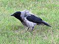 Corvus cornix AA.jpg