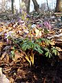 Corydalis solida sl5.jpg