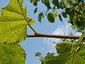 Corylus avellana glandular hairs.JPG
