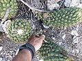 Coryphantha octacantha (5776822113).jpg