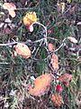 Cotoneaster tomentosus sl2.jpg