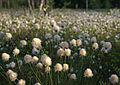 Cottongrass - 1 (2552974697).jpg