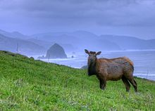 Cow Elk Near Haystack Rock Cannon Beach