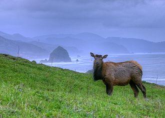 Cannon Beach, Oregon - Cow elk near Haystack Rock, Cannon Beach