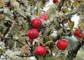 Crab apples and Lichen (36707631474).jpg