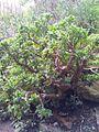 Crassula arborescens subsp undulatifolia 1.jpg