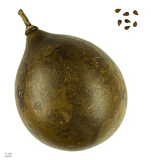Crescentia cujete - Crescentia cujete, dry fruit and seeds - MHNT