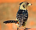 Crested Barbet SA.jpg