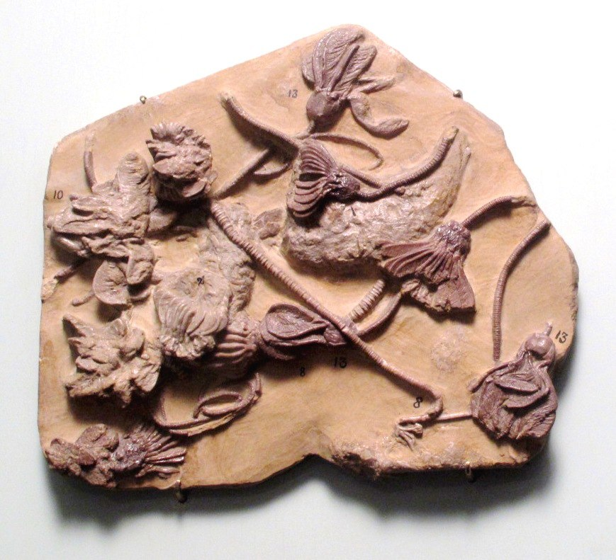 330 million years old crinoids fossil