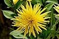 Crisantemo (Chrysanthemum spp.) (14389008477).jpg