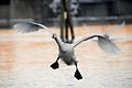Crooked landing of a swan, Skien.jpg