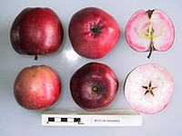Cross section of Bellefleur Krasny, National Fruit Collection (acc. 1975-342).jpg